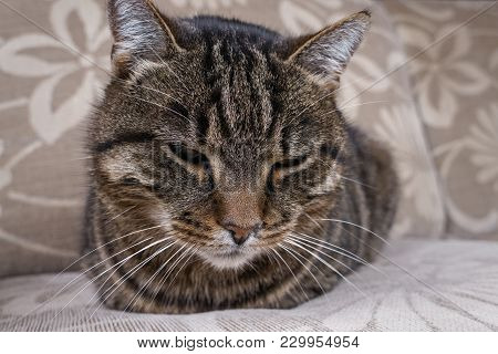 Portait Of Striped Domestic Cat Laying On Sofa. Tired Cat Relaxed At Home. Close Up Of Fat And Old D