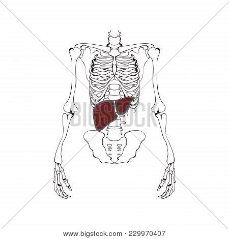 Image Of The Liver Against The Background Of The Skeleton. Schematic Drawing. Vector Graphics.