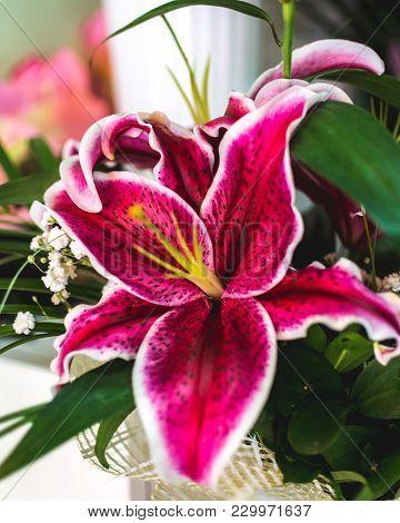 Lilium Orientalis Stargazer. Stargazer Lily Background