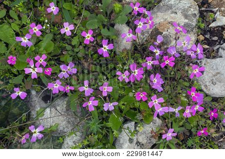 Spring Background . Delicate First Flowers Among The Stones On The Mountainside.