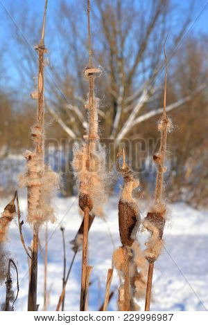 Brown Cattails With Fluffy Seeds In Winter.