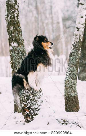 Shetland Sheepdog, Sheltie, Collie Sitting On Tree In Snowy Winter Day.