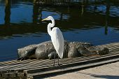 White Ibis In A Park in Florida poster