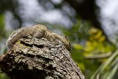 An Indian three striped palm squirrel sitting on a bare branch stump poster