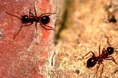 Two worker ants crawling on a red brick. poster