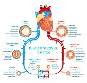 Blood vessel types anatomical diagram, medical scheme with heart and elastic artery, muscular artery, arteriole, continuous capillary, fenestrated capillary, venule, medium-sized vein and large vein. Circulatory system. Medical educational information. poster