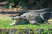 alligator in a park in Florida State poster