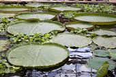 the Victoria amazonica regia giant water lily floating float leaves pad pads poster