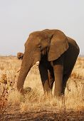 A very old African Bull Elephant in the Kruger National Park South Africa. poster