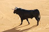 Black bull in the spanish bullfighting arena poster