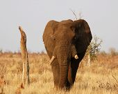 An old African Elephant Bull in the Kruger National Park South Africa. poster