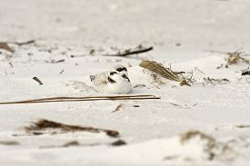 Snowy Plover Sitting On Sandy Beach In Florida, Usa.