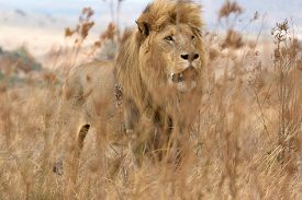A Lion Behind The Grass In South Africa