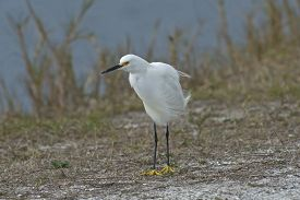Snowy Egret Standing In The Wind On The Shore Of A Lake In Florida, Usa.
