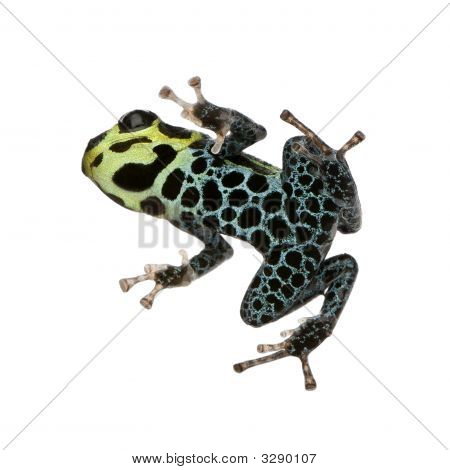 Imitating Poison Frog - Ranitomeya Imitator