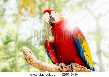 Red Macaw Or Scarlet Macaw Ara Macao With Green Sunny Jungle Background And Sunrays In Macaw Mountai