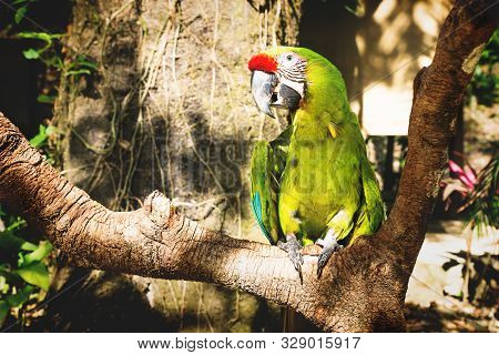 Green Macaw Parrot On A Stick With Jungle Background And Sunlight In Macaw Mountain Bird Park, Copan