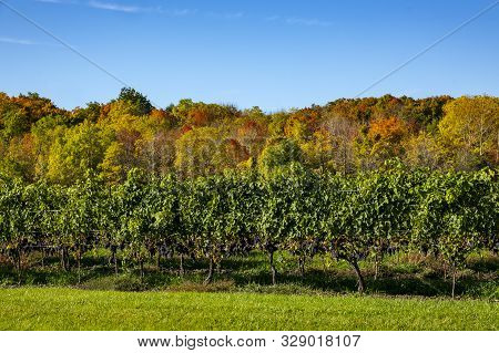 Row Of Cabernet Franc Vines Loaded With Ripen Grapes Against Colorful Fall Foliage And Blue Sky In N