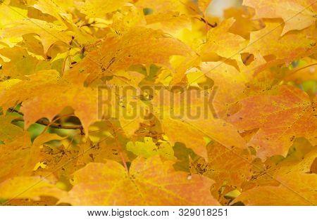 Closeup Of Colorful Fall Foliage Of Map Tree