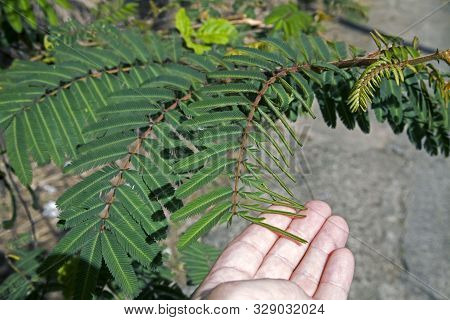 Mimosa Plant Also Called Morivivi Touched By Human Hand Causing Leaf To Close Photographed In Puerto