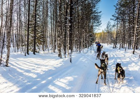 Lapland, Finland. Finnish Husky Sled Dog. Great ride on sled dogs. The snow-covered coniferous forest. The winter polar sun lows above the horizon. The concept of active tourism