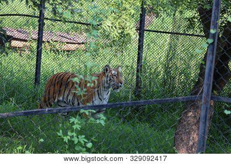 Tiger Walking, Staring To Front Side, Taken At Zoo - Image