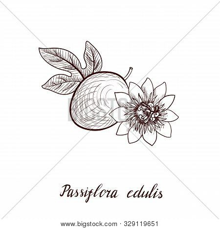 Vector Drawing Passion Fruit, Leaf And Flower, Passiflora, Hand Drawn Illustration
