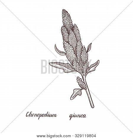 Vector Drawing Quinoa Plant, Chenopodium Quinoa, Hand Drawn Illustration