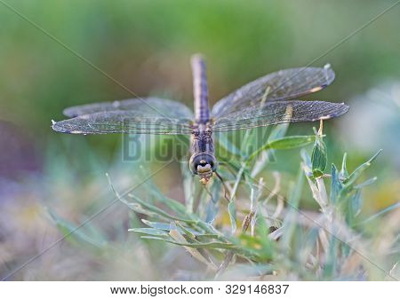 Closeup Macro Detail Of Wandering Glider Dragonfly Pantala Flavescens Eating Insect On Blade Of Gras