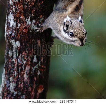 Squirrels From Shudu Lake In Shangri La, Yunnan Province