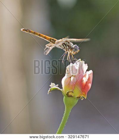 Closeup Macro Detail Of Wandering Glider Dragonfly Pantala Flavescens On Flower Head In Garden