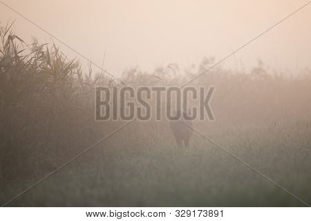 Silhouette Of Wild Boar (sus Scrofa Ferus) Walking In Forest On Very Dense Fog