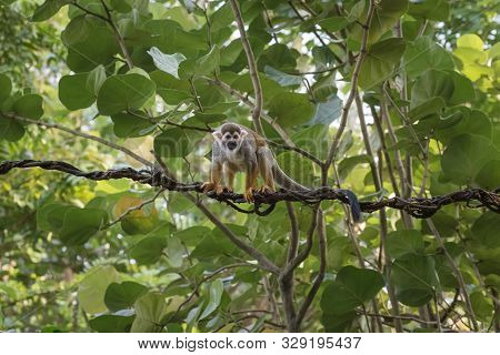Common Squirrel Monkey, Saimiri Sciureus, A Species Of Squirrel Monkey From Guiana, Venezuela And Br