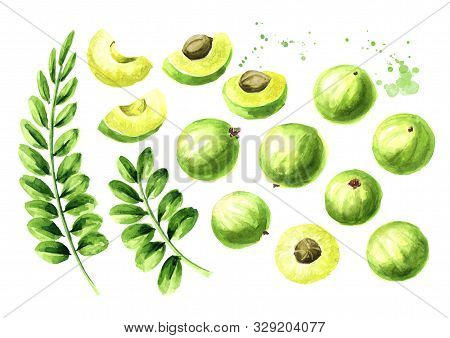 Amla Green Fruits And Leaves Set. Watercolor Hand Drawn Illustration Isolated On White Background