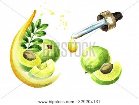 Amla Or Gooseberry Essential Oil Set. Watercolor Hand Drawn Illustration, Isolated On White Backgrou