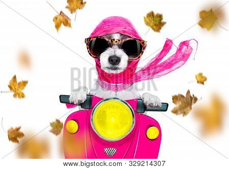 Motorcycle Diva Lady Fancy  Dog Driving A Motorbike With Sunglasses Isolated On White Background In