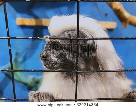 poster of A cotton top tamarin in closeup, tropical critically endangered monkey from Colombia in the cage.