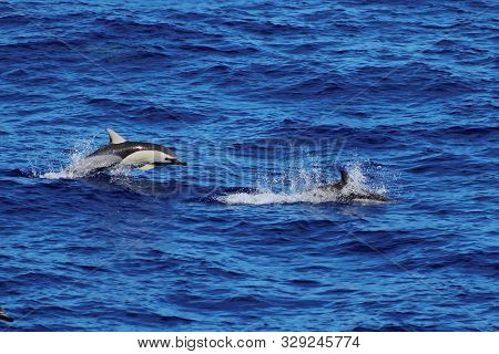 Dolphins Swimming And Jumping In The Ocean. Common Dolphin Delphinus Delphis In Natural Habitat. Mar
