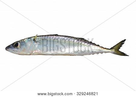 Chub mackerel, Pacific mackerel, or Pacific chub mackerel (Scomber japonicus) fish alive isolated on white background. poster