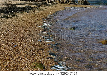 Fishes Throwing Themselves Up On A Sandy Beach. Japanese Anchovy Fish Engraulis Japonicus Beached Th