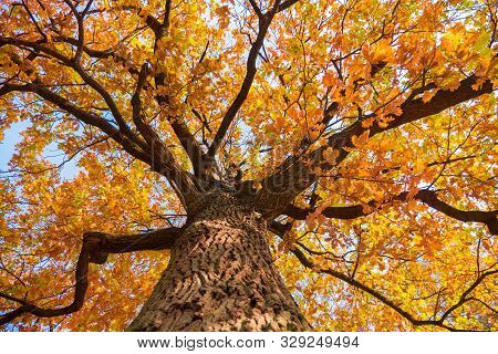 Background Of Tree In Fall Time. Oak Tree With Yellow Leaves. Autumn, Fall Season. Colors Of Autumn.