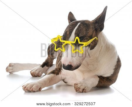 female miniature bull terrier puppy wearing star shaped glasses isolated on white background