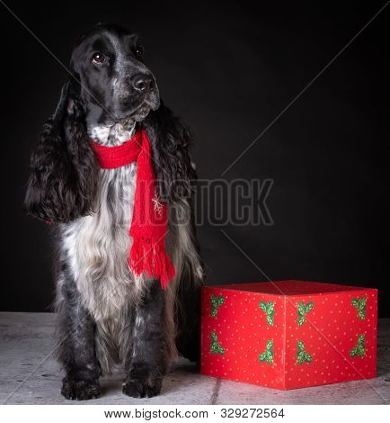 English cocker spaniel male wearing a scarf sitting beside a Christmas gift on black background