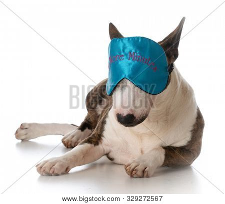 young miniature bull terrier wearing a sleep mask isolated on white background