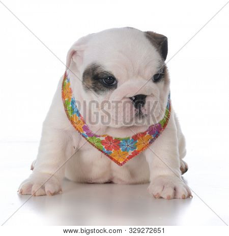 adorable female English bulldog puppy wearing a flowered bandana on white background