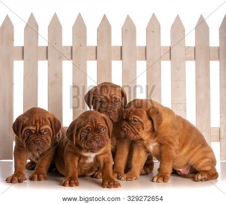 litter of four dogue de Bordeaux puppies sitting in front of a fence isolated on white background