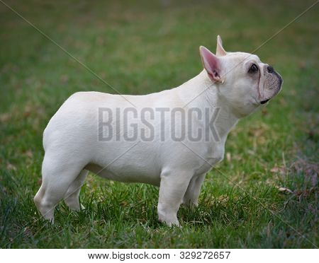 female French bulldog puppy standing outside in the green grass