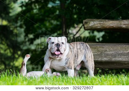 two english bulldog puppies playing outside
