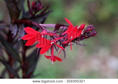 Closeup Of Cardinal Flower Or Lobelia Cardinalis Perennial Herbaceous Flowering Plants With Dark Lan