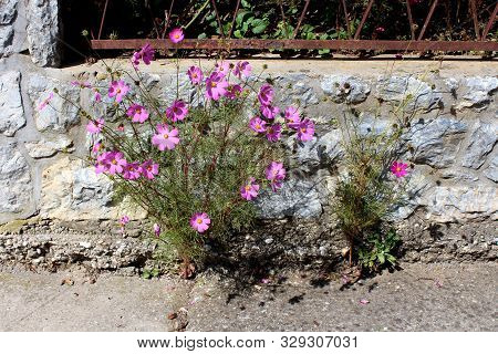 Garden Cosmos Or Cosmos Bipinnatus Or Mexican Aster Half Hardy Annual Plant With Fully Blooming Brig